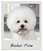 Bichon Frise jewelry, Bichon Frise earrings, Bichon Frise